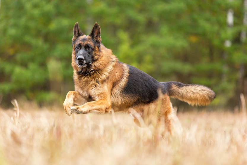 how-to-train-a-german-shepherd-puppy
