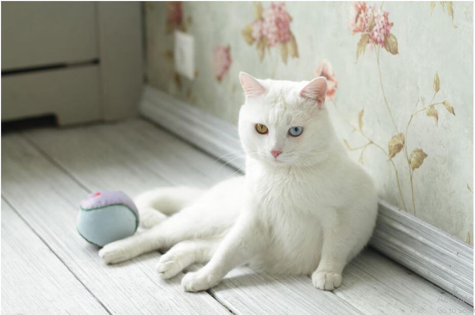 top-10 most-beautiful-cat-breeds