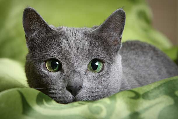 Top-10-Most-Beautiful-Cat-Breeds