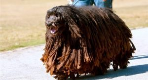 RAREST-DOG-BREEDS-IN-THE-WORLD