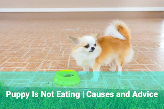 Puppy-Is-Not-Eating-Causes-and-Advice