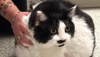Biggest-Domestic-Cat-in-The-World